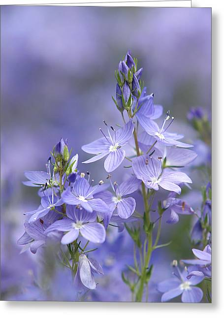 Soft Purple Greeting Cards - Little Purple Flowers Vertical Greeting Card by Gill Billington