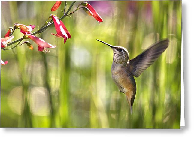 Moyers Greeting Cards - Little Queenie-Calliope Hummer Greeting Card by Dana Moyer