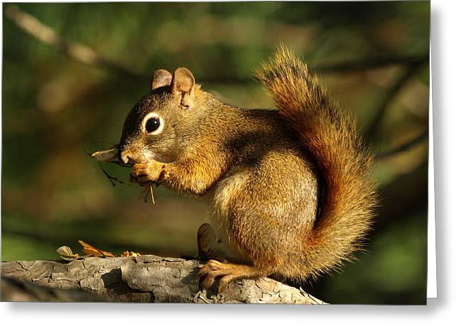 Little Critters Greeting Cards - Little Red Squirrel Feasting Greeting Card by James Peterson