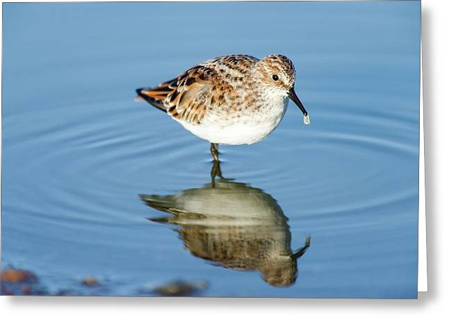 Little Stint Greeting Card by Peter Chadwick