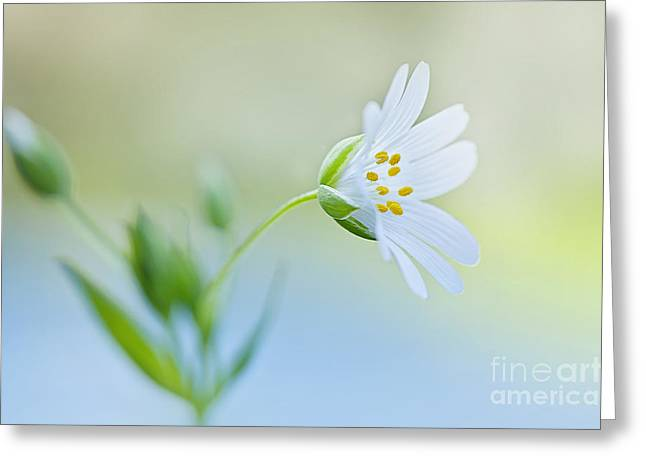 Close Focus Floral Greeting Cards - Little Stitchwort Greeting Card by Jacky Parker