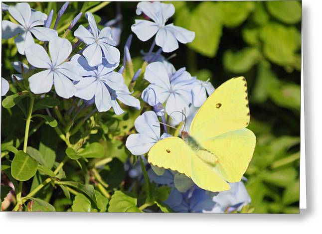 Purple Phlox Greeting Cards - Little Yellow Butterfly on Phlox II Greeting Card by Suzanne Gaff