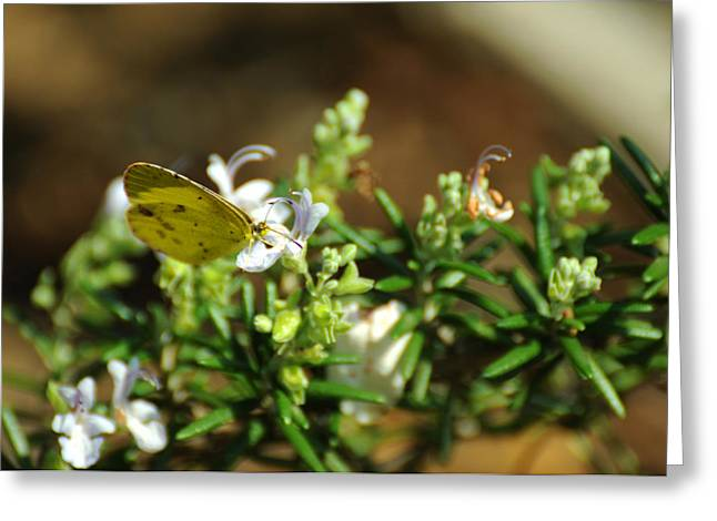 Lepidopterist Greeting Cards - Little Yellow Butterfly on Rosemary Greeting Card by Rebecca Sherman
