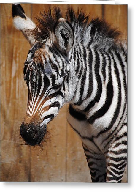 Zebra Colt Greeting Cards - Little Zebra Greeting Card by Tammy Burgess