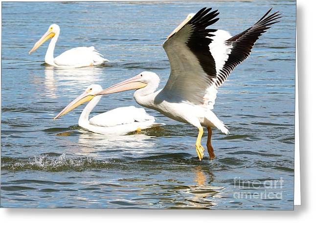 Flying White Pelicans Greeting Cards - Live Action - Pelican in Flight Greeting Card by Carol Groenen