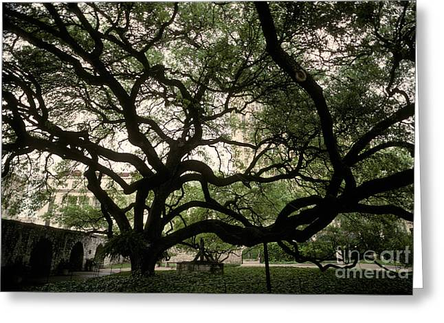 Historic Site Greeting Cards - Live Oak At The Alamo, Texas Greeting Card by Ron Sanford