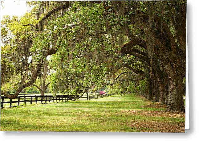 Decor Nature Photo Greeting Cards - Live Oak Trees in Charleston Greeting Card by Stephanie McDowell