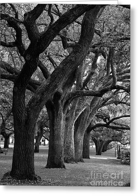 The Plateaus Greeting Cards - Live Oaks Greeting Card by Jill Lang
