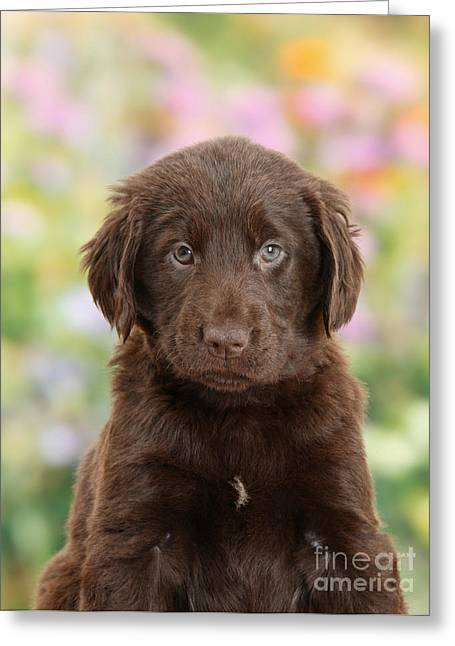 Liver Flat Coated Retriever Puppy Greeting Card by Mark Taylor