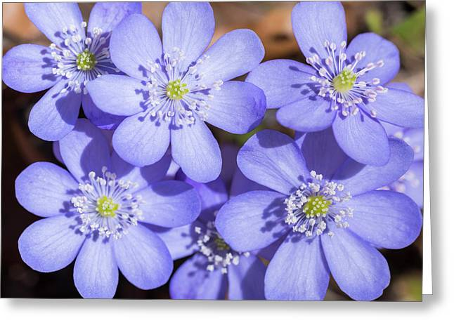 Liverwort (hepatica Nobilis Or Anemone Greeting Card by Martin Zwick