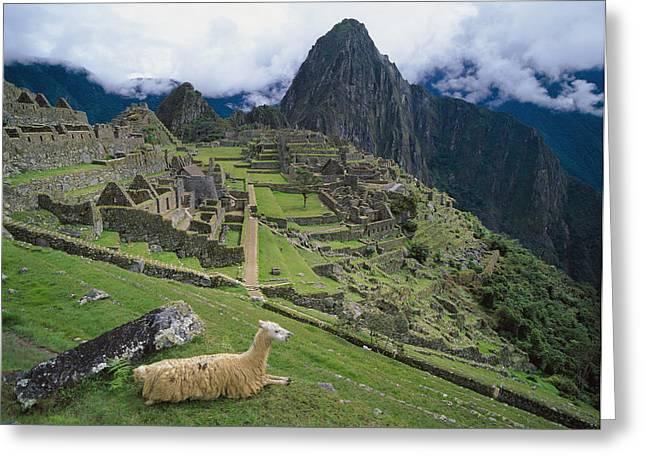 Llama Photographs Greeting Cards - Llama At Machu Picchus Ancient Ruins Greeting Card by Chris Caldicott