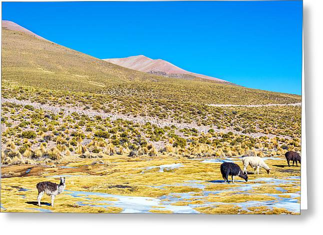 Llama Photographs Greeting Cards - Llama Landscape Greeting Card by Jess Kraft