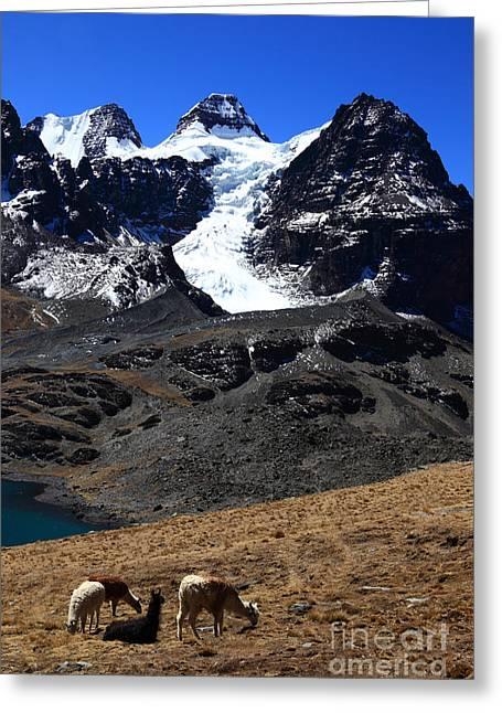 Llama Photographs Greeting Cards - Llama Paradise Greeting Card by James Brunker