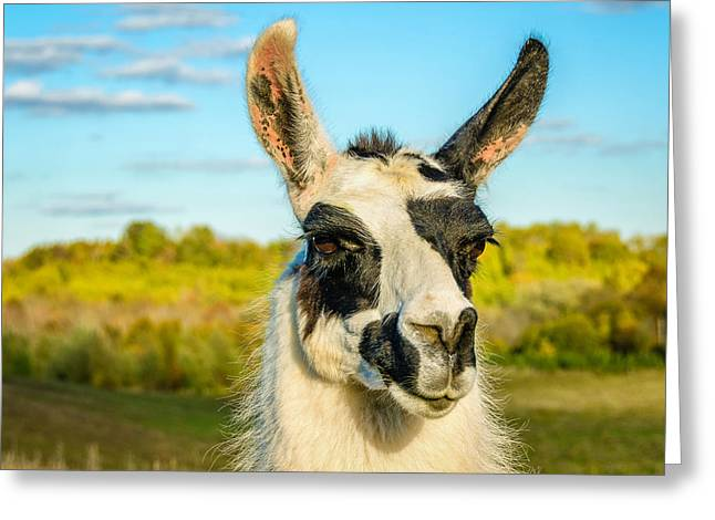 Eyelash Greeting Cards - Llama Portrait Greeting Card by Steve Harrington