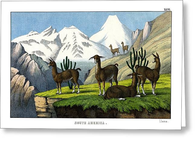 Llama Drawings Greeting Cards - Llama Greeting Card by Splendid Art Prints