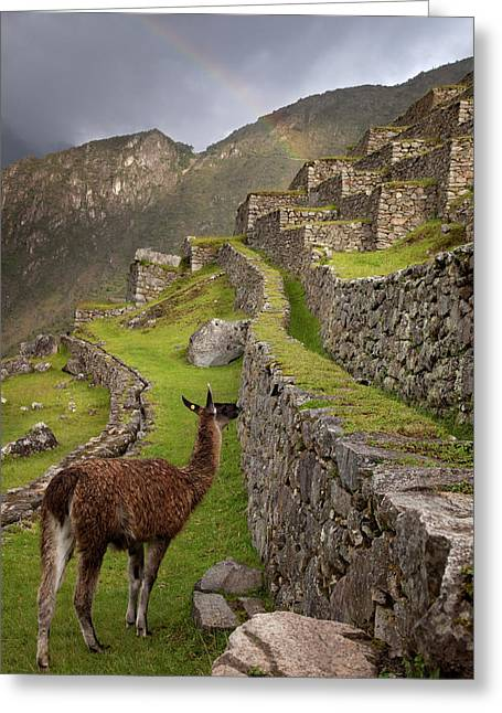 Llama Stands On Agricultural Terraces Greeting Card by Jaynes Gallery