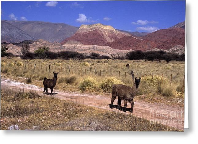 Llama Photographs Greeting Cards - Llamas and Cerro Yacoraite Greeting Card by James Brunker