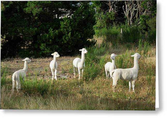 Llamas Standing In A Forest Greeting Card by Panoramic Images