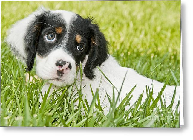 Gun Dog Greeting Cards - Llewellin Setter Puppy Greeting Card by William H. Mullins