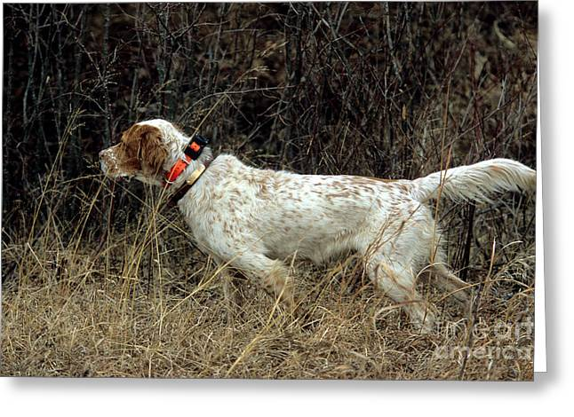 Dog Photographs Greeting Cards - Llewellyn Setter Greeting Card by William H. Mullins