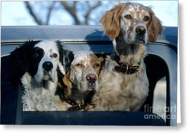 Setter Pointer Greeting Cards - Llewellyn Setters Greeting Card by William H. Mullins