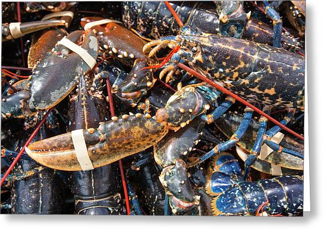 Lobsters Caught Off Craster Greeting Card by Ashley Cooper