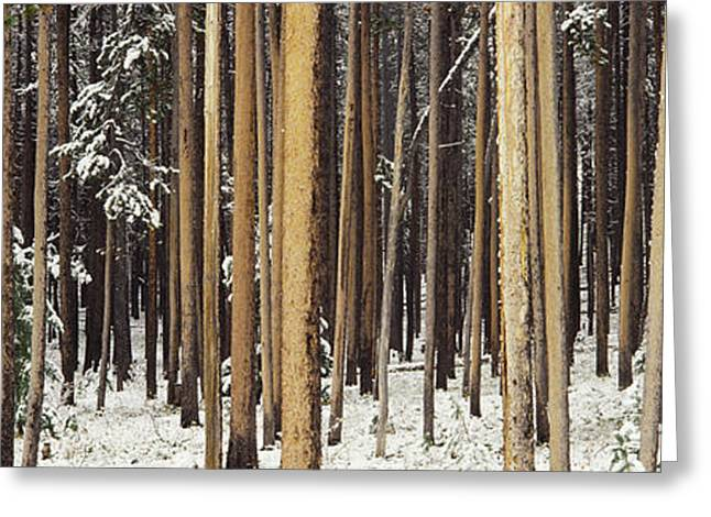 Natural Resources Greeting Cards - Lodgepole Pines And Snow Grand Teton Greeting Card by Panoramic Images