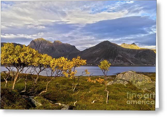 Birch Grove Greeting Cards - Lofotian landscape with birches Greeting Card by Heiko Koehrer-Wagner