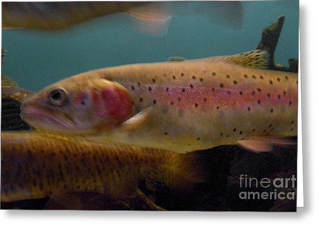 Cutthroat Greeting Cards - Lohontan Cutthroat Trout Greeting Card by Ron Sanford