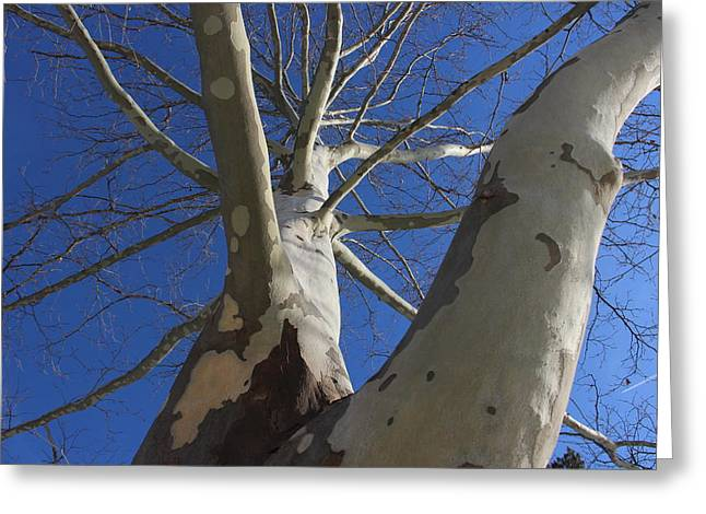 London Plane Tree Greeting Card by Jeff Roney