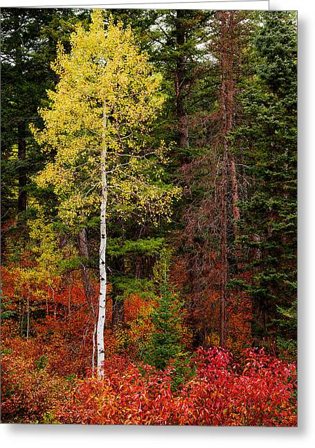 Red Leaves Greeting Cards - Lone Aspen in Fall Greeting Card by Chad Dutson