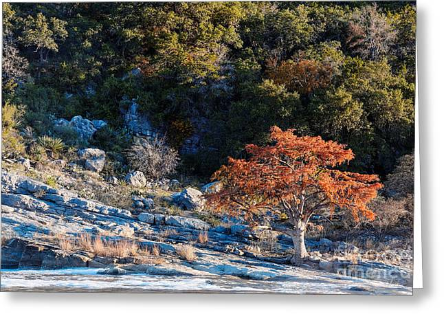 Hamilton Pool Texas Greeting Cards - Lone Bald Cypress at Pedernales Falls State Park - Johnson City Texas Hill Country Greeting Card by Silvio Ligutti