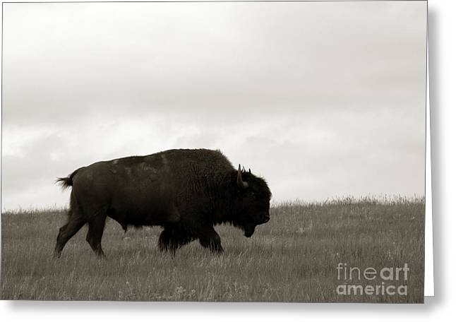 Prairies Greeting Cards - Lone Bison Greeting Card by Olivier Le Queinec