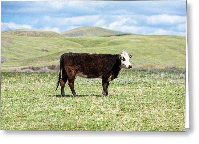 White Face Mountain Greeting Cards - Lone Black Angus Cow Greeting Card by Todd Klassy