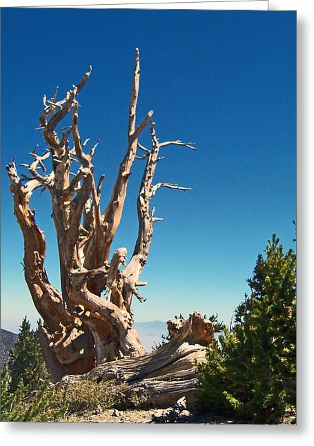 Old Western Photos Greeting Cards - Lone Bristlecone Greeting Card by Alan Socolik