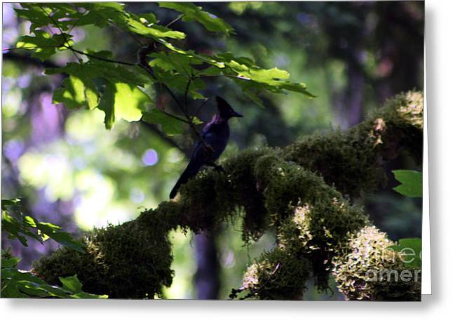 Stellar Jay Greeting Cards - Lone Forest Jay Greeting Card by Nick Gustafson