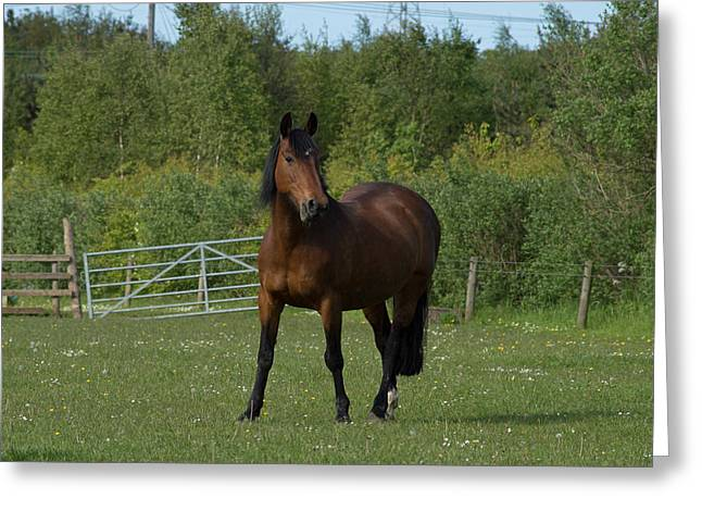 Wildlife Greeting Cards - Lone Horse Greeting Card by Robert Carr