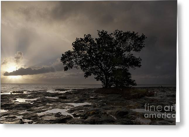 Islamorada Greeting Cards - Lone Mangrove Greeting Card by Keith Kapple