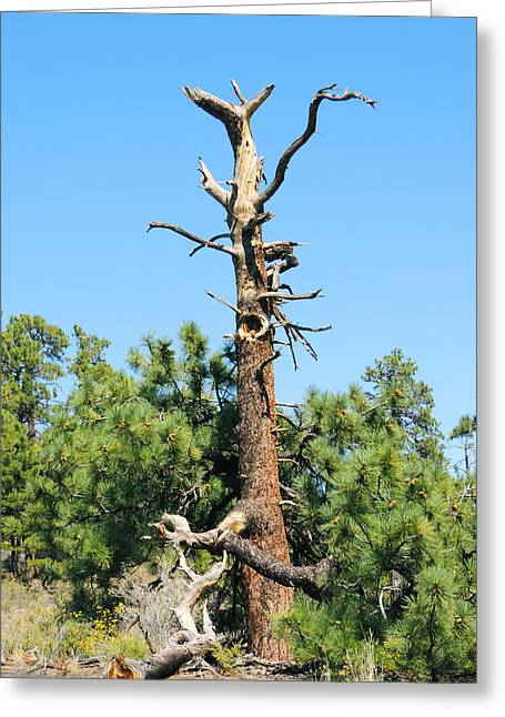 Gnarly Greeting Cards - Lone Pine at Sunset Crater Greeting Card by Tom Bohon