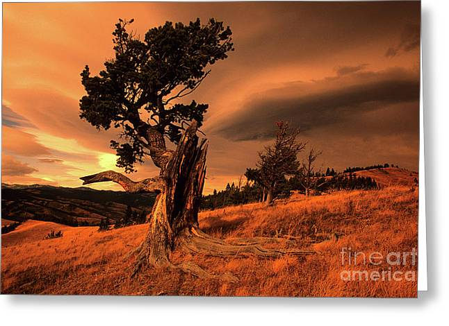 Canadian Foothills Landscape Greeting Cards - Lone Pine Greeting Card by Bob Christopher
