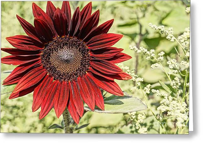 Farmstand Greeting Cards - Lone Red Sunflower Greeting Card by Kerri Mortenson