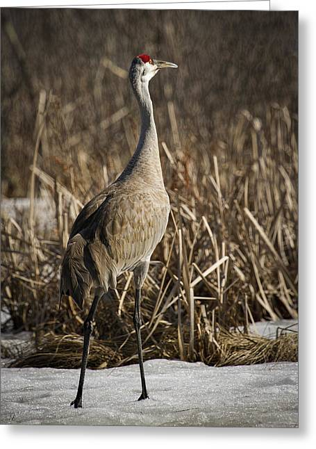 Sandhill Cranes Greeting Cards - Lone Sandhill Crane 1 Greeting Card by Thomas Young