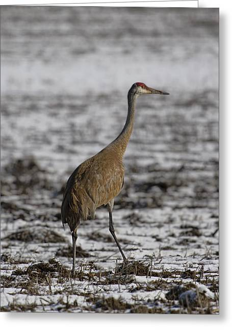Sandhill Cranes Greeting Cards - Lone Sandhill Crane 2 Greeting Card by Thomas Young