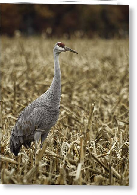 Thomas Young Photography Greeting Cards - Lone Sandhill Crane Greeting Card by Thomas Young