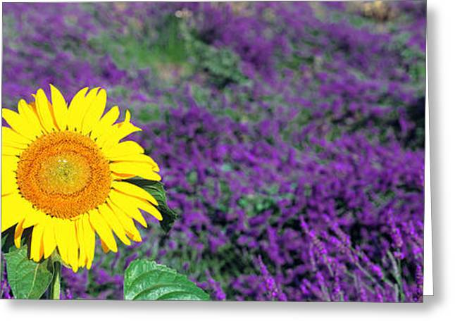 Blooms Greeting Cards - Lone Sunflower In Lavender Field, France Greeting Card by Panoramic Images