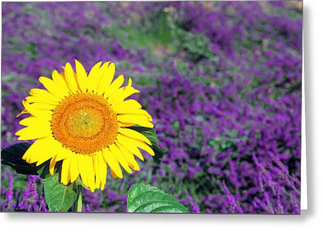 Individual Greeting Cards - Lone Sunflower In Lavender Field France Greeting Card by Panoramic Images