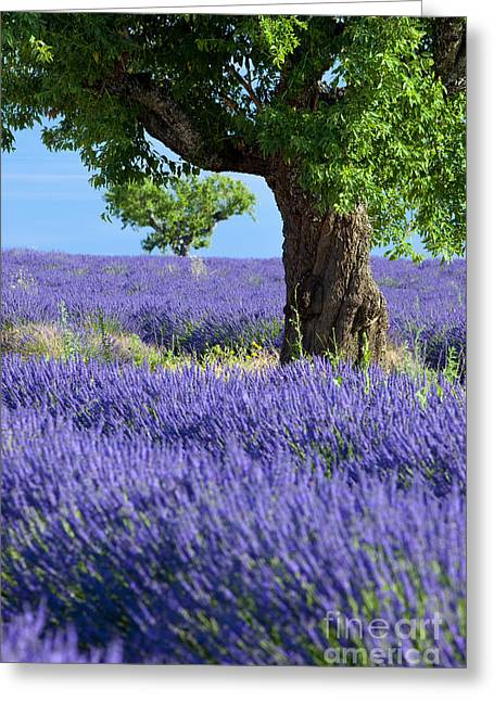 Lone Tree In Lavender Greeting Card by Brian Jannsen