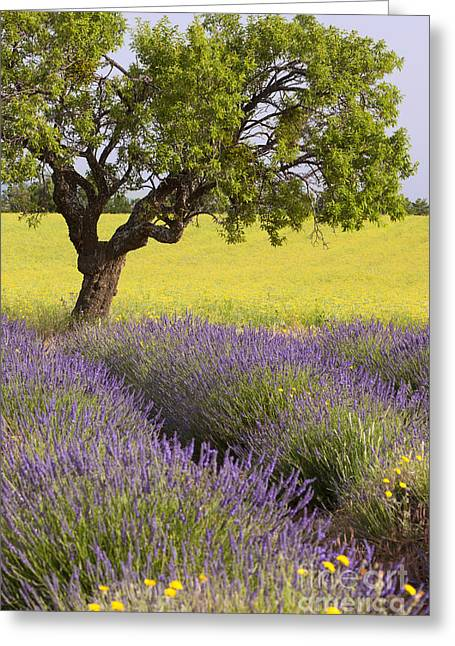 Lone Tree In Lavender Field Greeting Card by Brian Jannsen