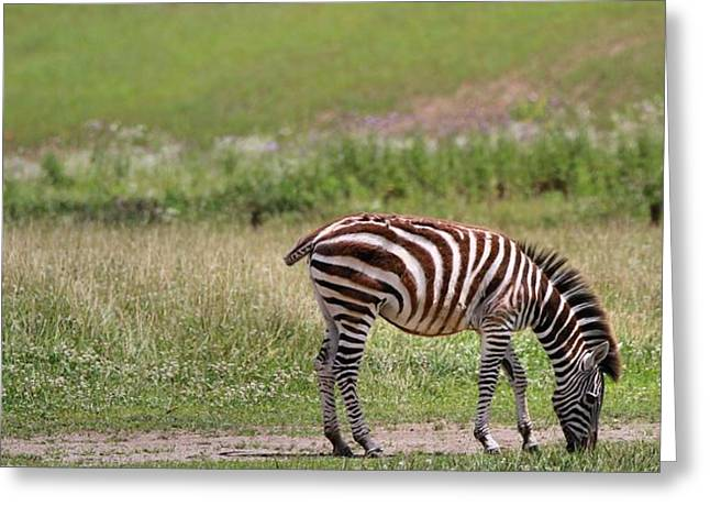 Zebra Eating Greeting Cards - Lone Zebra Greeting Card by Dan Sproul