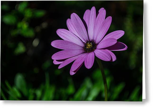 Pinks And Purple Petals Greeting Cards - Lonely African Daisy Greeting Card by Scott Lyons